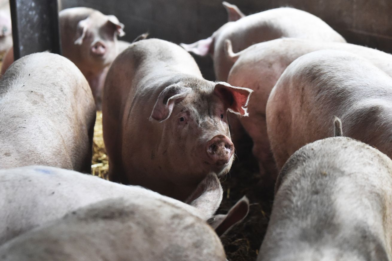 British Pig Farmers Ask Government To Ease Immigration Rules
