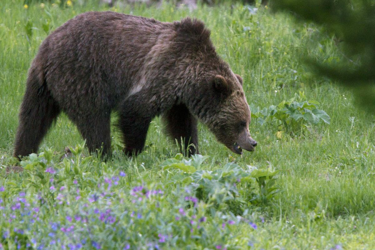 FILE - In this Wednesday, July 6, 2011, file photo, a grizzly bear roams near Beaver Lake in Yellowstone National Park. The U.S. Interior Department announced Thursday, June 22, 2017, that the grizzly population in the Yellowstone vicinity has recovered a