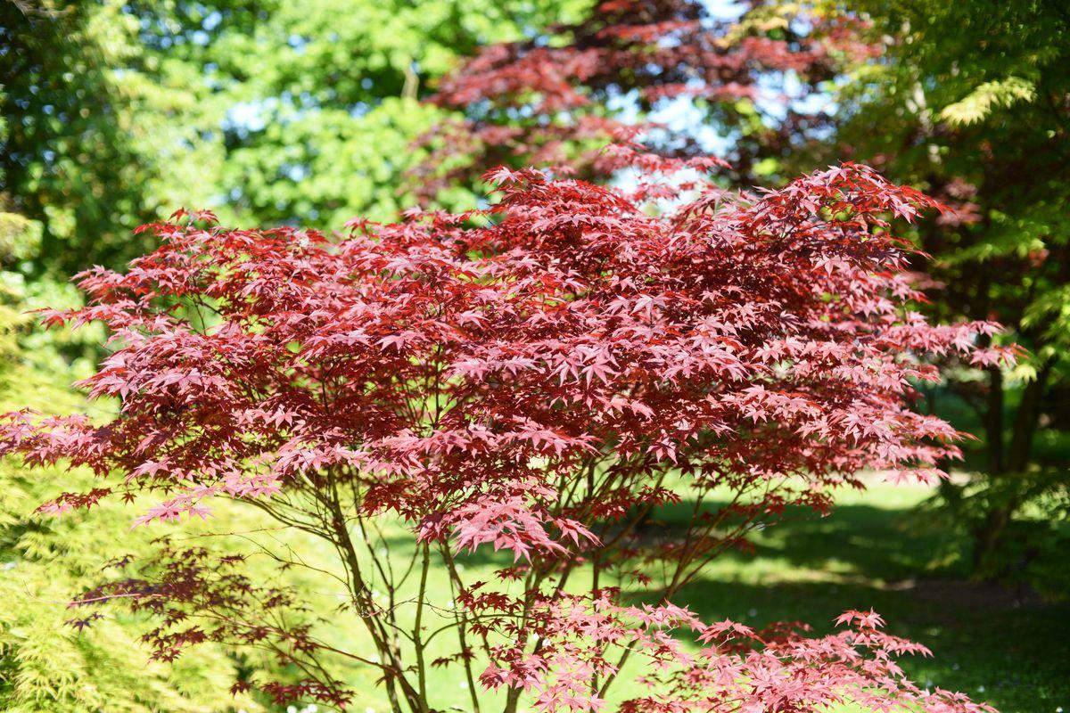 Bloodgood Japanese Maple Trees