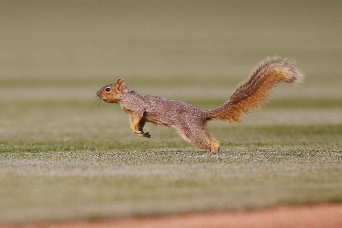 This is not Rally Squirrel, but an impostor who showed up in Denver recently.