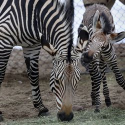 A 2-week-old Hartmann's mountain zebra stands with his mother, Ziva, in the African Savanna exhibitat Utah's Hogle Zoo in Salt Lake City on Thursday, Jan. 28, 2021. The male zebra was born Friday, Jan. 15, and with the help of his mother, who cleaned and coaxed him, he was standing on his own within 30 minutes and awkwardly walking shortly thereafter. The zoo is encouraging the community to help name him by going to the zoo's Facebook page.