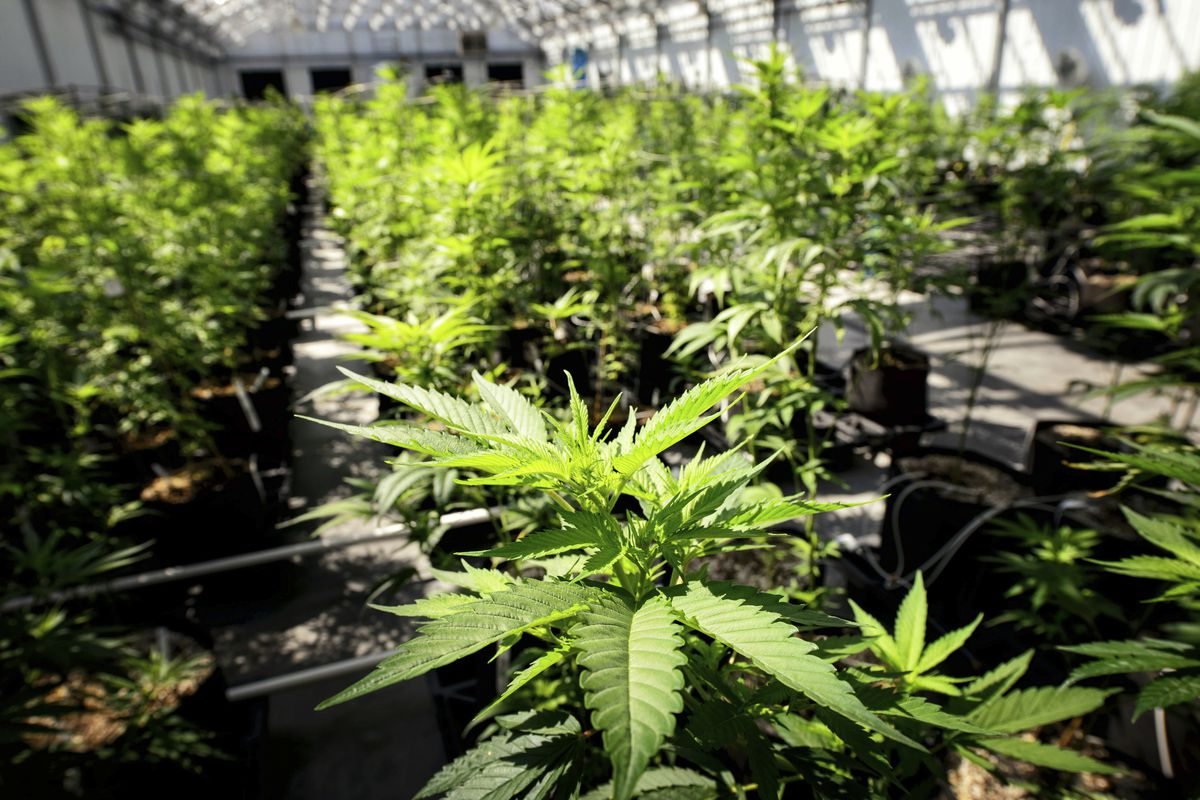 FILE - In this May 5, 2015 photo, marijuana plants grows at a Minnesota Medical Solutions greenhouse in Otsego, Minn. States where marijuana legalization measures on the ballot in November could help the turnout for Democratic candidates even if the measu