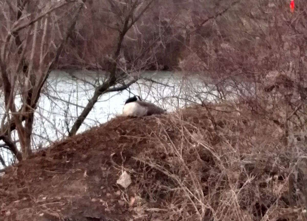 Early nesting Canada goose, on March 30, 2018.<br>Credit: Dale Bowman