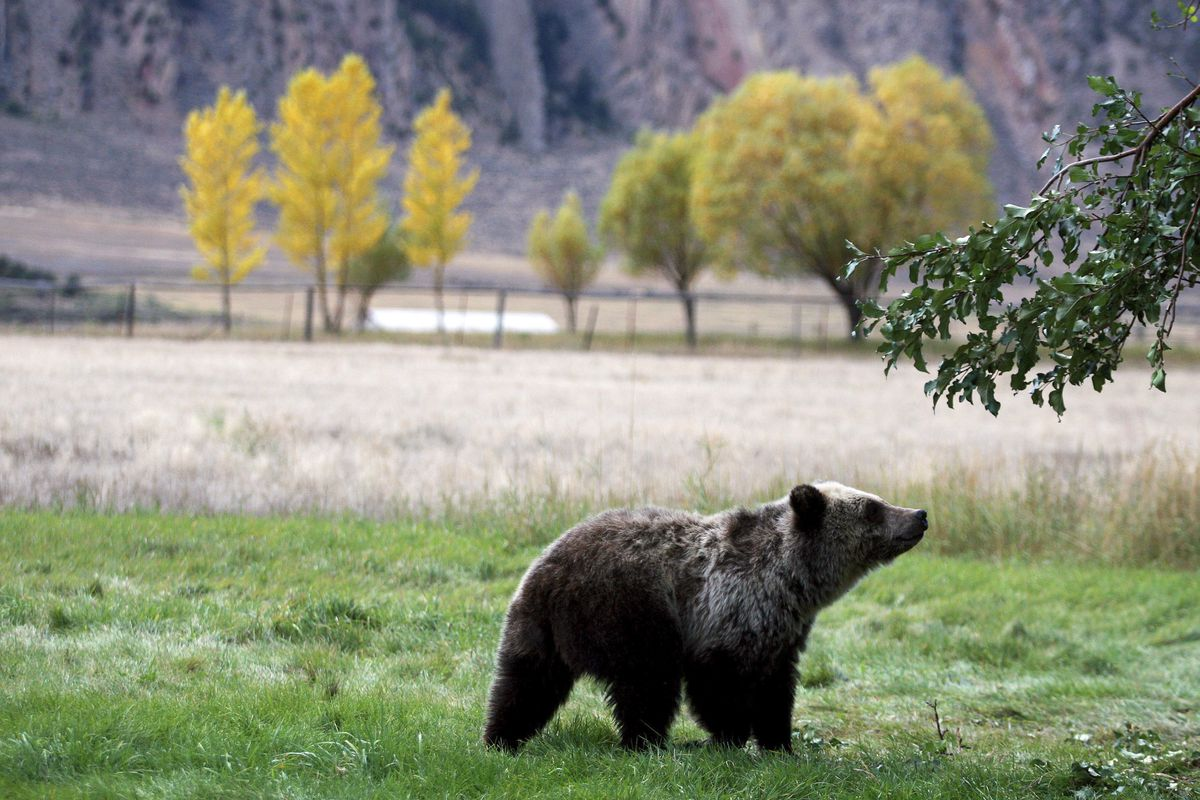FILE - In this Sept. 25, 2013, file photo, a grizzly bear cub searches for fallen fruit beneath an apple tree a few miles from the north entrance to Yellowstone National Park in Gardiner, Mont. A judge will decide whether the Lower 48 states' first grizzl