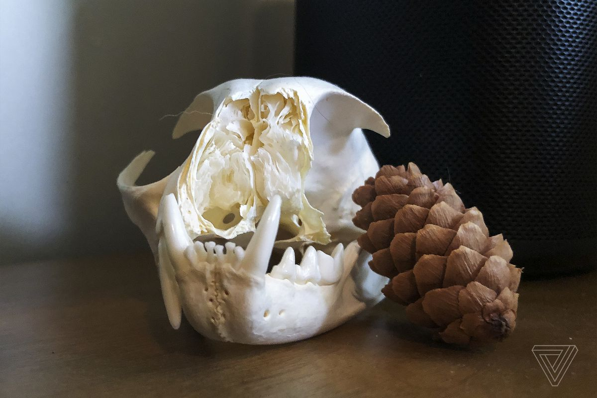A bobcat skull, a little worse for wear