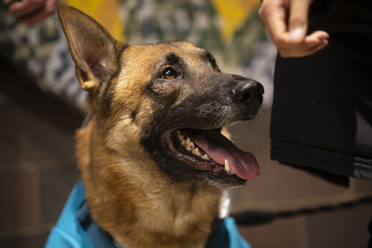 After being lost for four days, Toby, a German shepherd, was reunited with his owner, Nelly Roa of Albany Park.