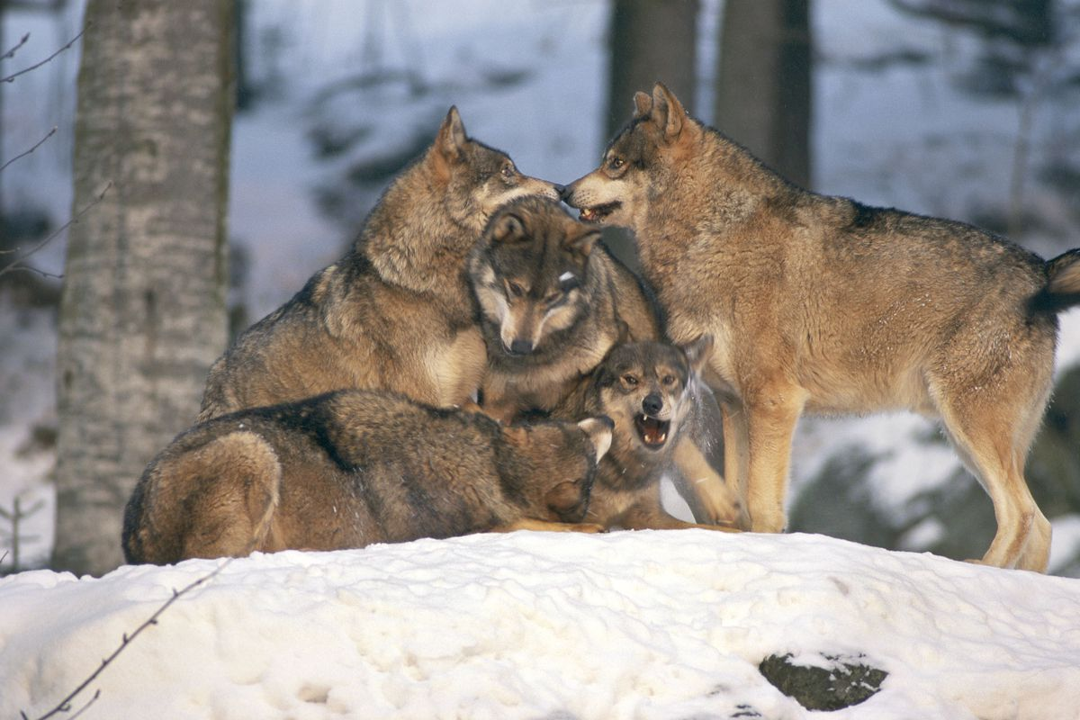 Loup, Canis lupus