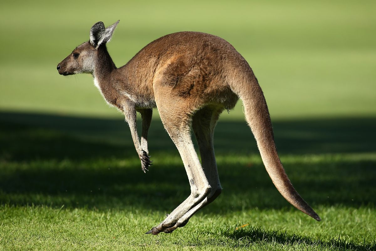 it s time you learned the truth about kangaroos the verge