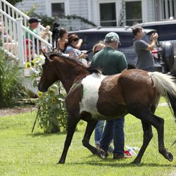 A wild pony breaks free and mingles with people who lined the streets to watch ponies be paraded to the fairgrounds during Pony Penning in Chincoteague, Va., on Wednesday, July 24, 2019. Pony Penning is a 94-year-old swim tradition where wild ponies and foals swim from Assateague Island to Chincoteague Island, and after resting, are walked down the streets of town and eventually end up at a carnival where the foals are actioned.