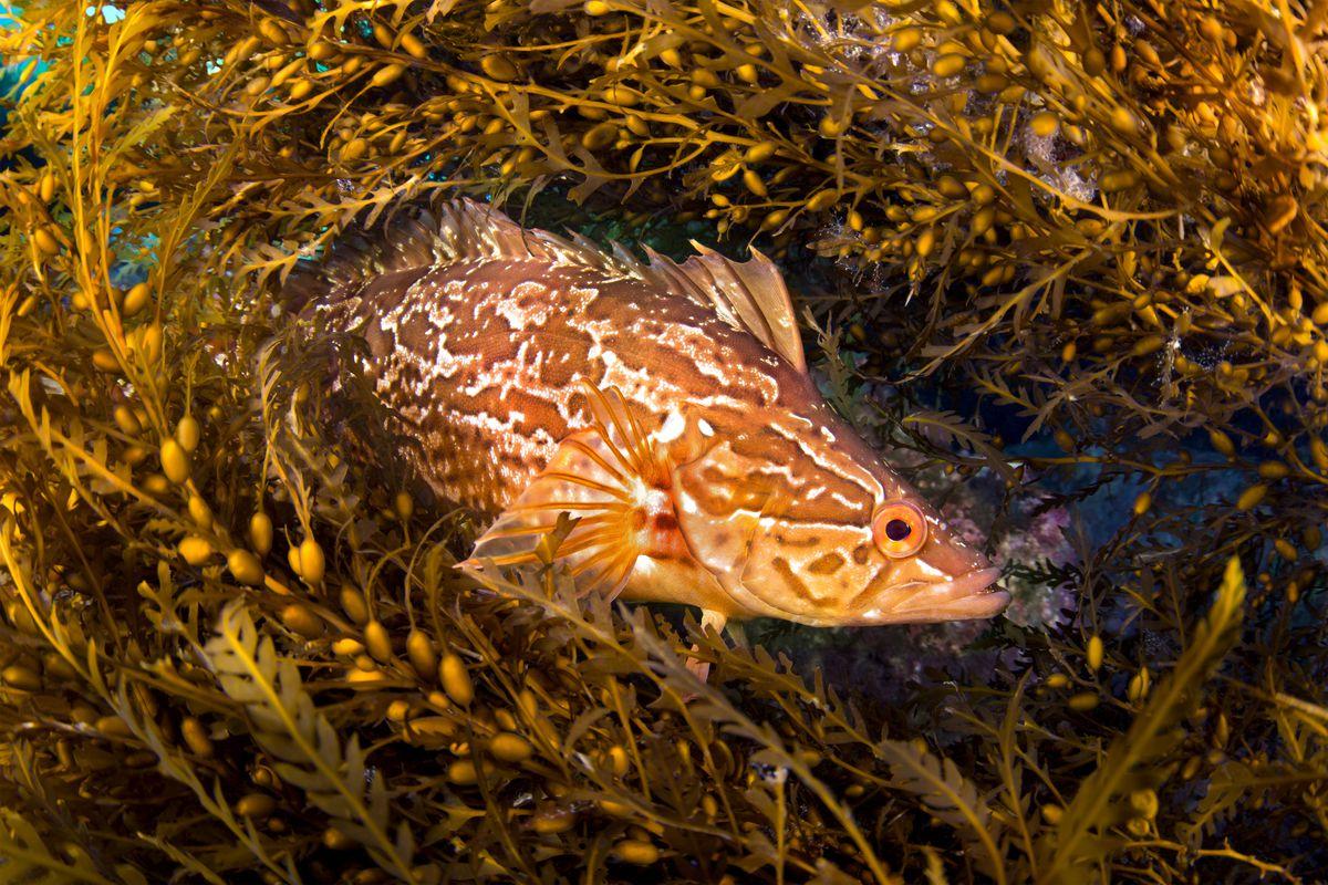 Fish in sargassum seaweed