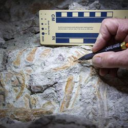 Paleontologist Rick Hunter shows an emerging tooth in a section of a juvenile raptor jawbone fossil at Thanksgiving Point in Lehi on Thursday, Aug. 31, 2017. The 9-ton chunk of rock may contain the fossils of as many as six different animals and may take as long as 10 years to fully excavate.