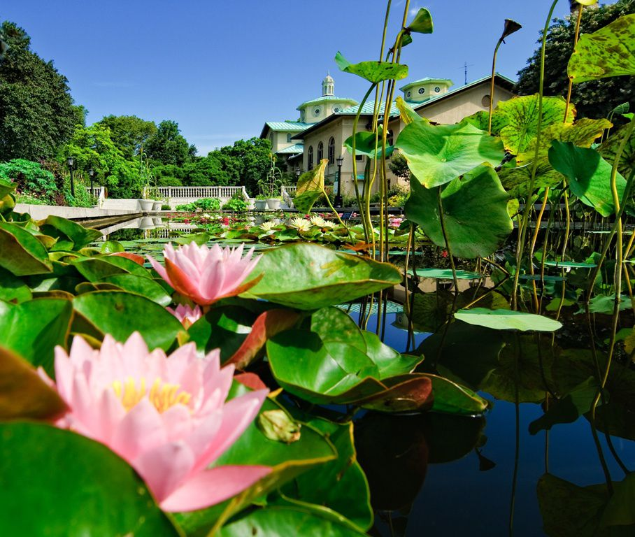 The Lily Pool Terrace at Brooklyn Botanic Garden. In the foreground are lily pads with pink flowers on a shallow pool. In the background is a building with a tan facade and green roof.
