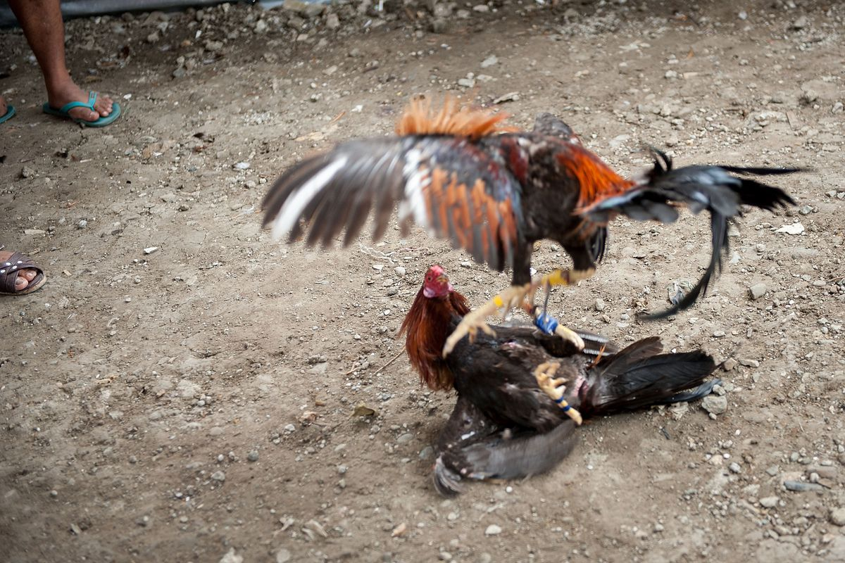 Illegal Cockfighting In The Phillipines