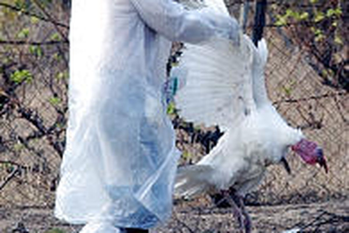 A member of the Greek Health Organization holds a dead turkey last month at a farm where a turkey infected with flu was found Monday.