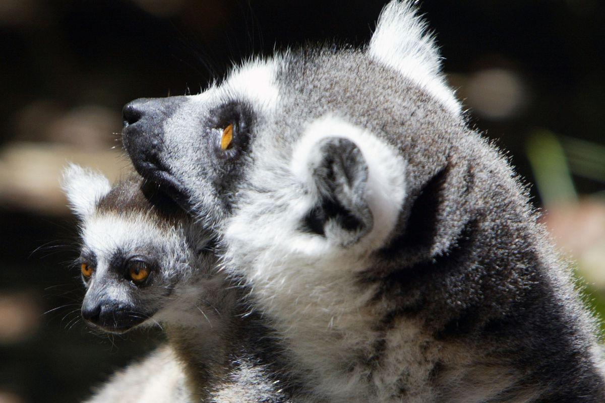 Newborn Ring Tailed Lemur At San Francisco Zoo