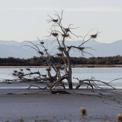 File - In a Dec. 27, 2010 file photo, a fallen tree supports numerous heron nests in the mud of Southern California's Salton Sea.  As public officials sought a solid answer for what made Monday, Sept. 10, 2012 so pungent in Southern California, one answer proposed was a weather-aided waft of a fish die-off from the Salton Sea.