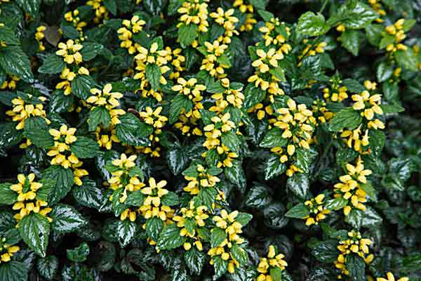 Yellow Archangel (Lamium Galeobdolon) Groundcover