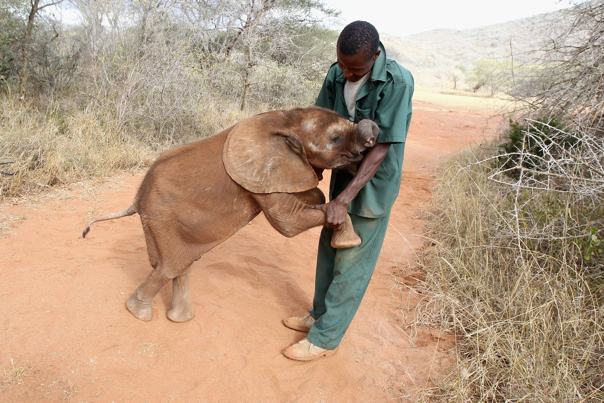 A 5 month old orphaned elephant named Tembo plays with a keeper at a Tanzanian wildlife sanctuary