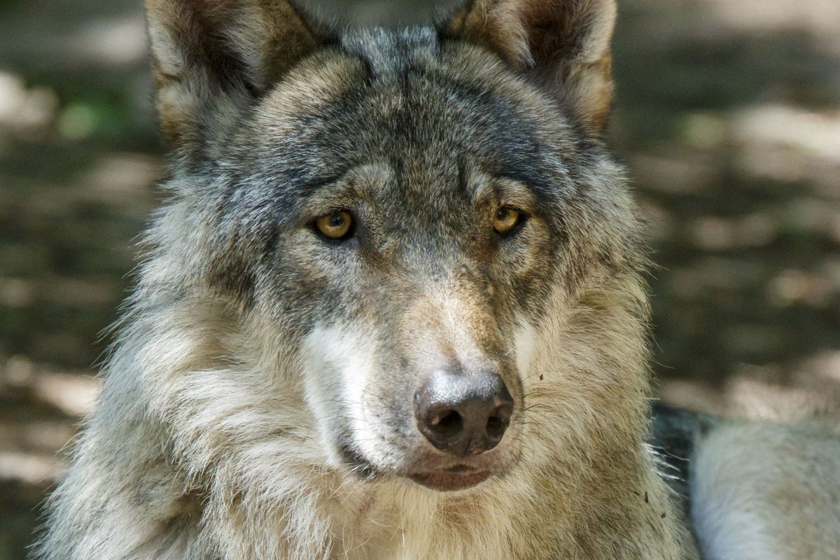 After 150 Years The European Wolf Makes A Comeback