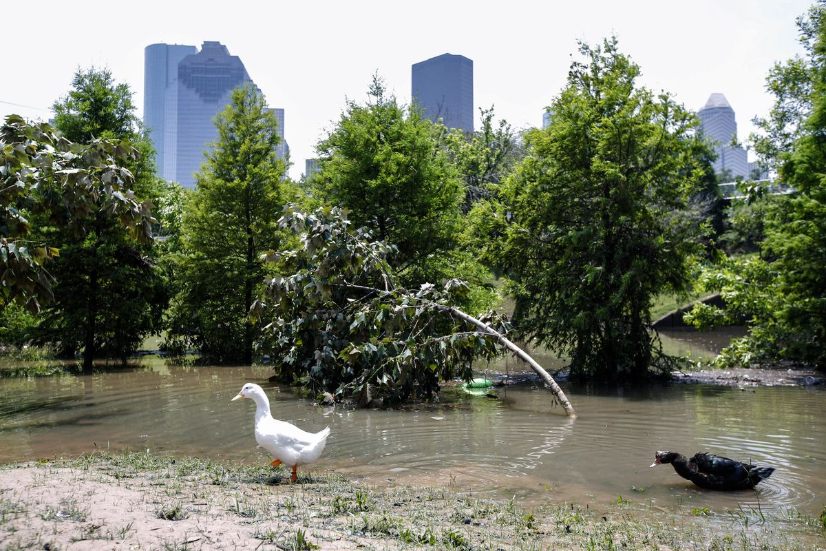 Ducks walk in the water at Buffalo Bayou park after massive flooding May 27, 2015 in Houston, Texas.