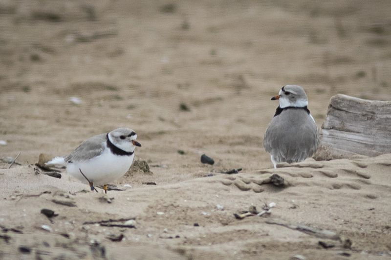 Piping plover mates Rose (left) and Monty walk near the area sectioned off for the endangered species on Montrose Beach on the North Side, Wednesday morning, April 28, 2021.