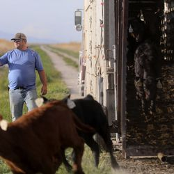 Joe Myers helps unload calves for Myers Ranch and Hancock Farms in the Ogden Bay Waterfowl Management Area on Monday, April 27, 2020.