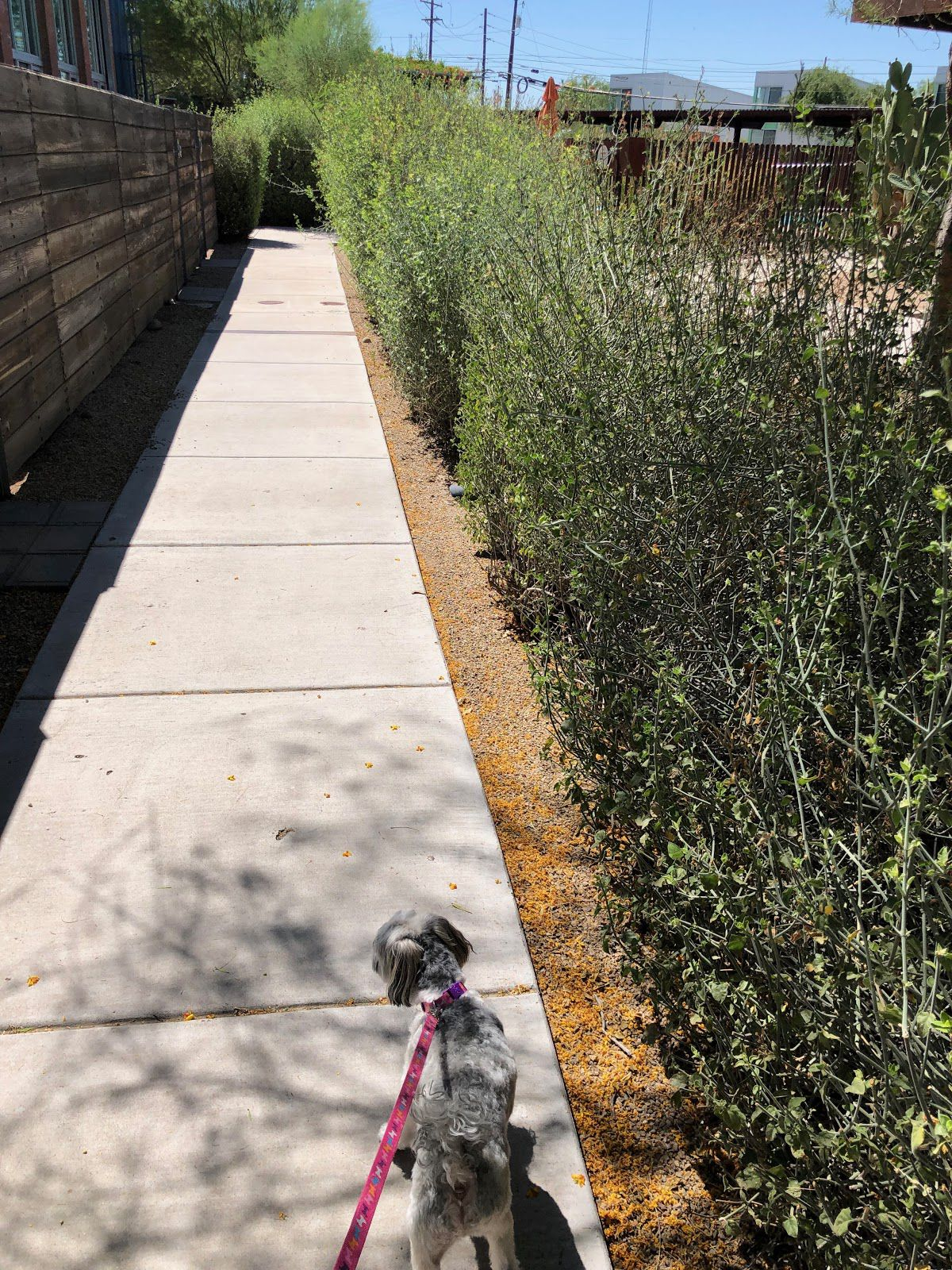 A dog on a pink lease walks down a path filled with desert landscaping.