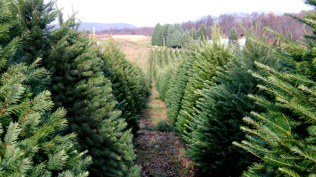 Wyckoff Christmas Tree Farm