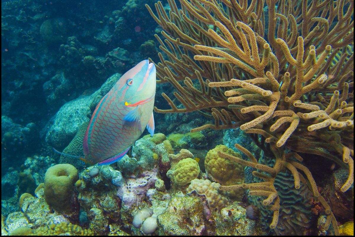 A parrotfish in Leonoras Reef off the Caribbean islet of Klein Bonaire. Parrotfish feed on algae that threaten to overrun the reef.