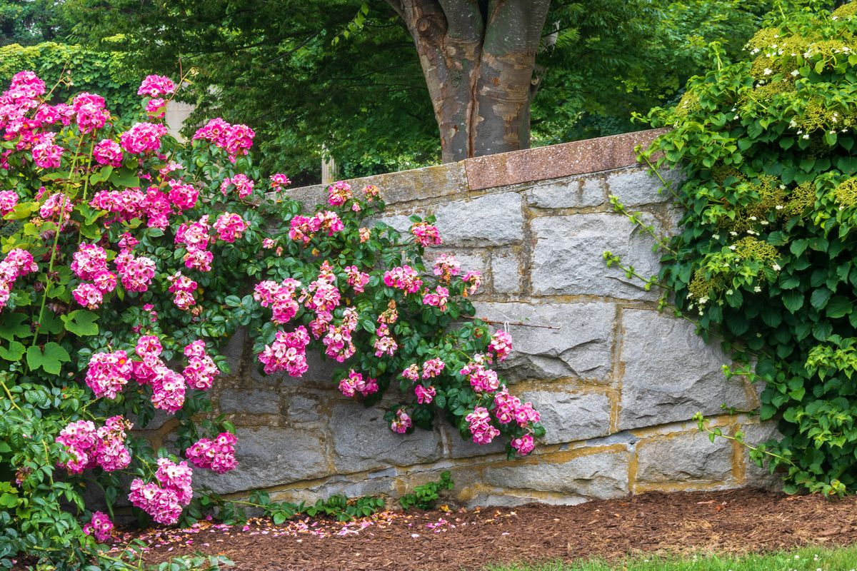 A bright pink climbing rose blooms along a retaining wall.