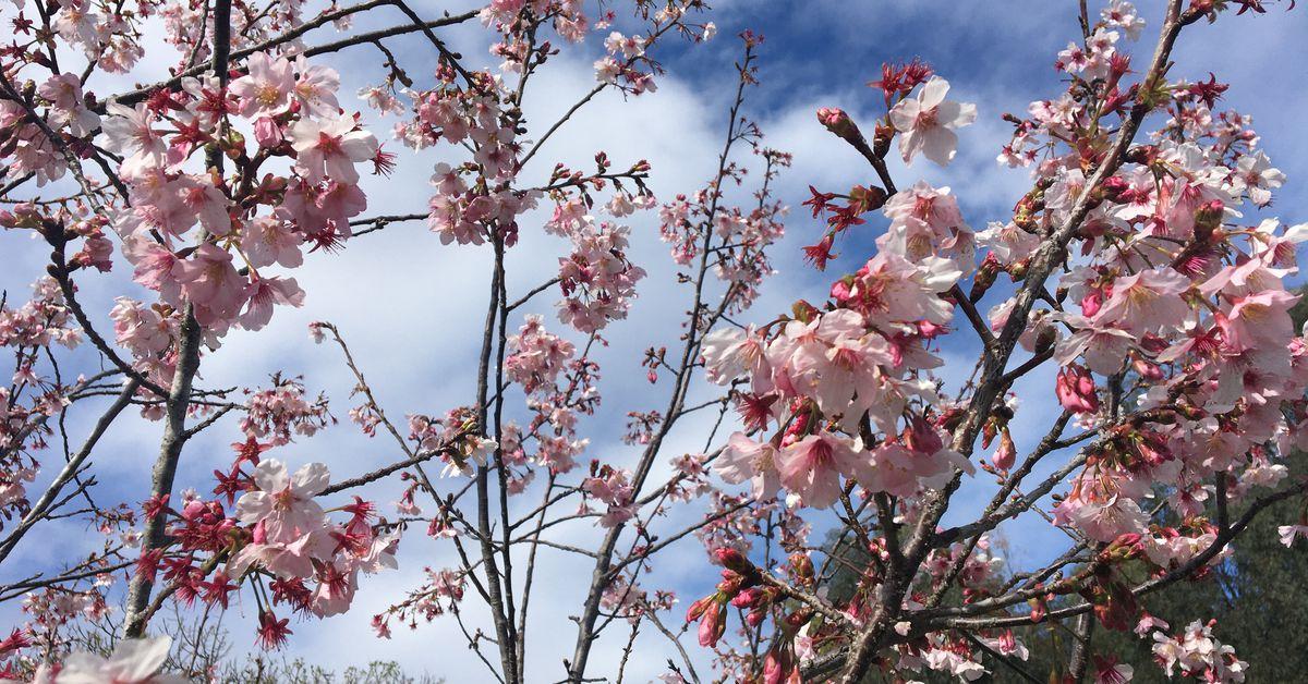 Before coronavirus quarantine , I looked for cherry blossoms