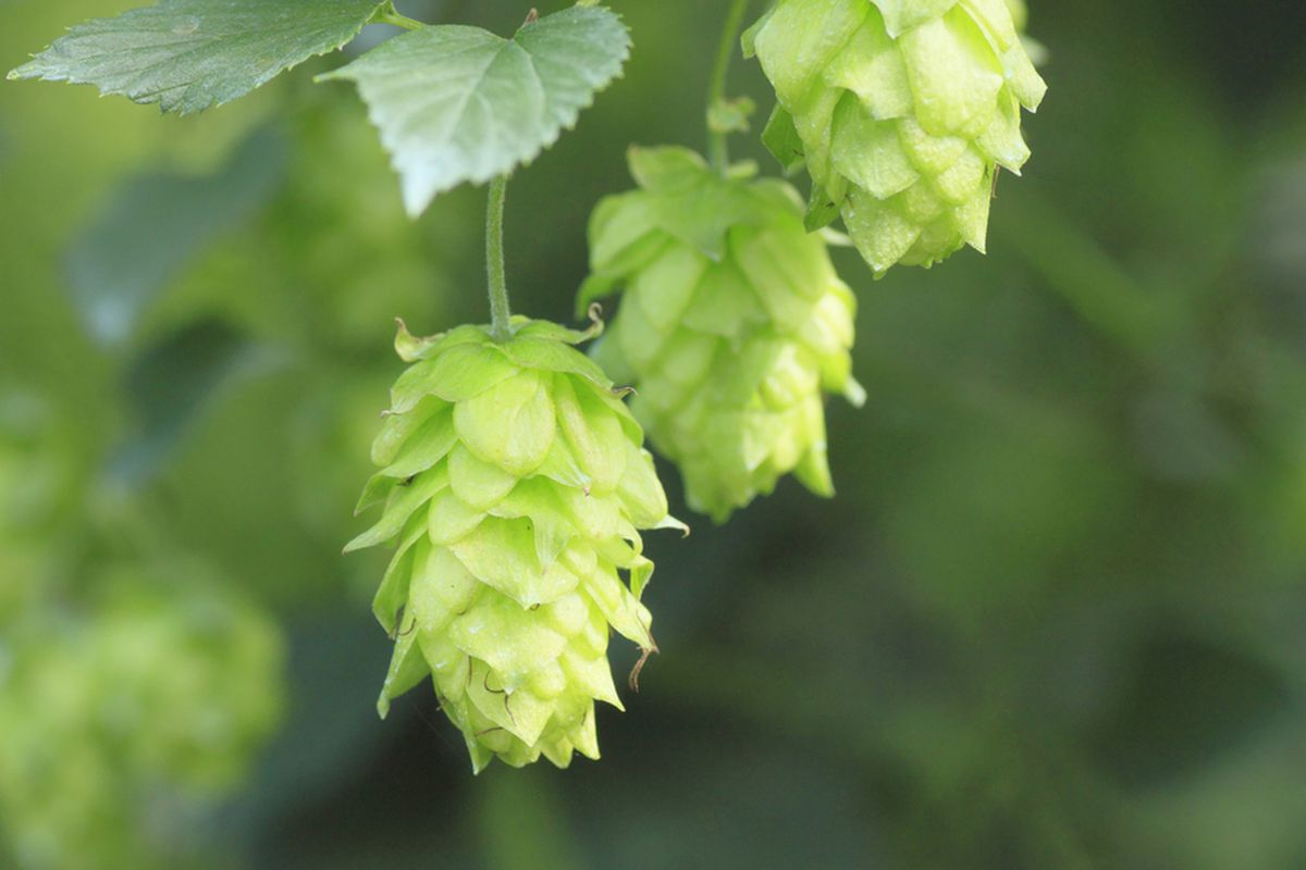 What Are Beer Hops? - Eater