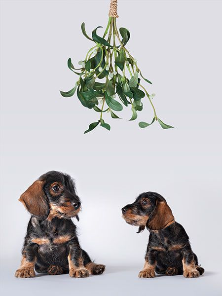 Two dogs sitting under mistletoe.