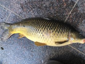 Big Chicago River carp. Provided by Jeffrey Williams