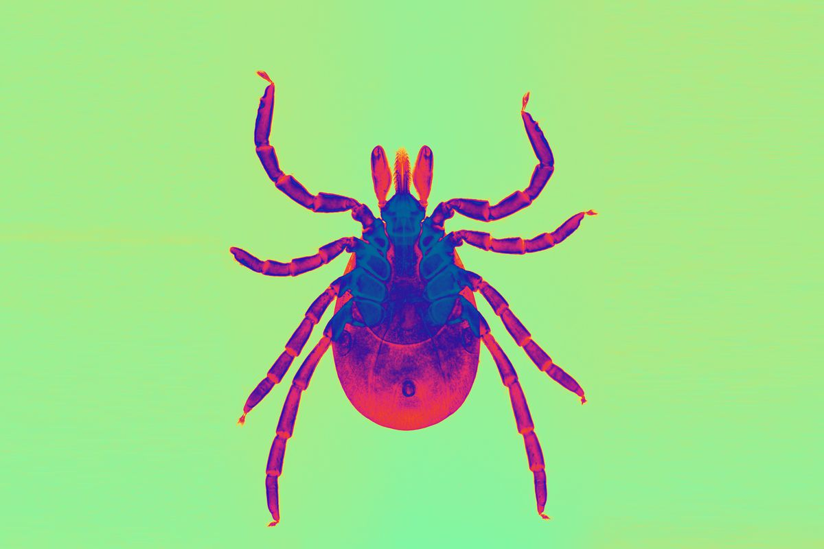 f6a96b7e2721 The deer tick spreads the bacteria that causes Lyme. Adapted from Ed  Reschke/Getty Creative Images