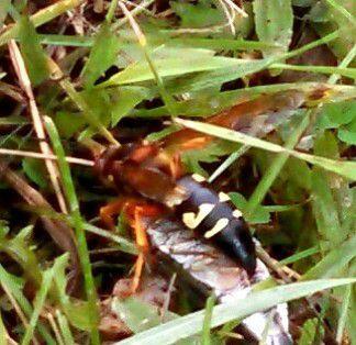 Cicada killer wasp close-up. | Dale Bowman