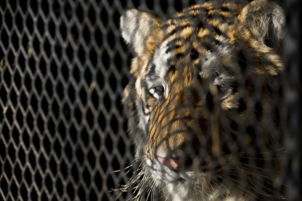 FILE - In this Feb. 12, 2019, file photo, a tiger that was found in a Southeast Houston residence awaits transport to a rescue facility at the BARC Animal Shelter and Adoptions building in Houston. Police say a judge has ruled that the north Texas animal