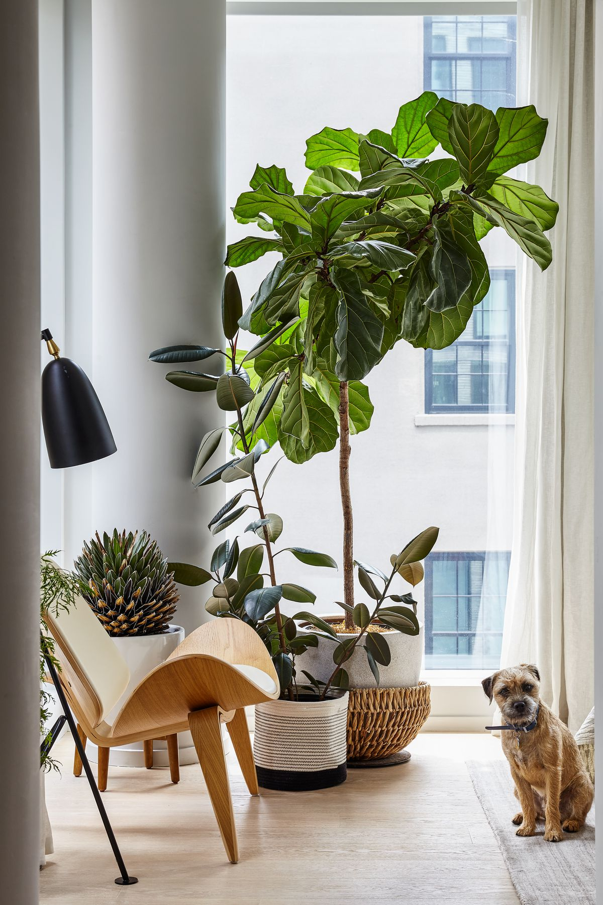 The corner of a room with a floor to ceiling window. In front of the window is a wooden chair and multiple planters with plants. A tan dog sits next to the plants looking towards the camera.