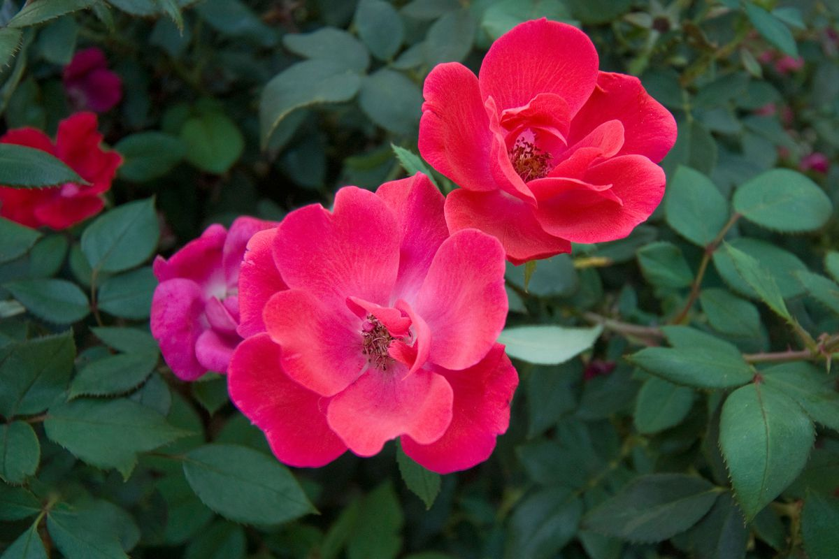Rose close up.