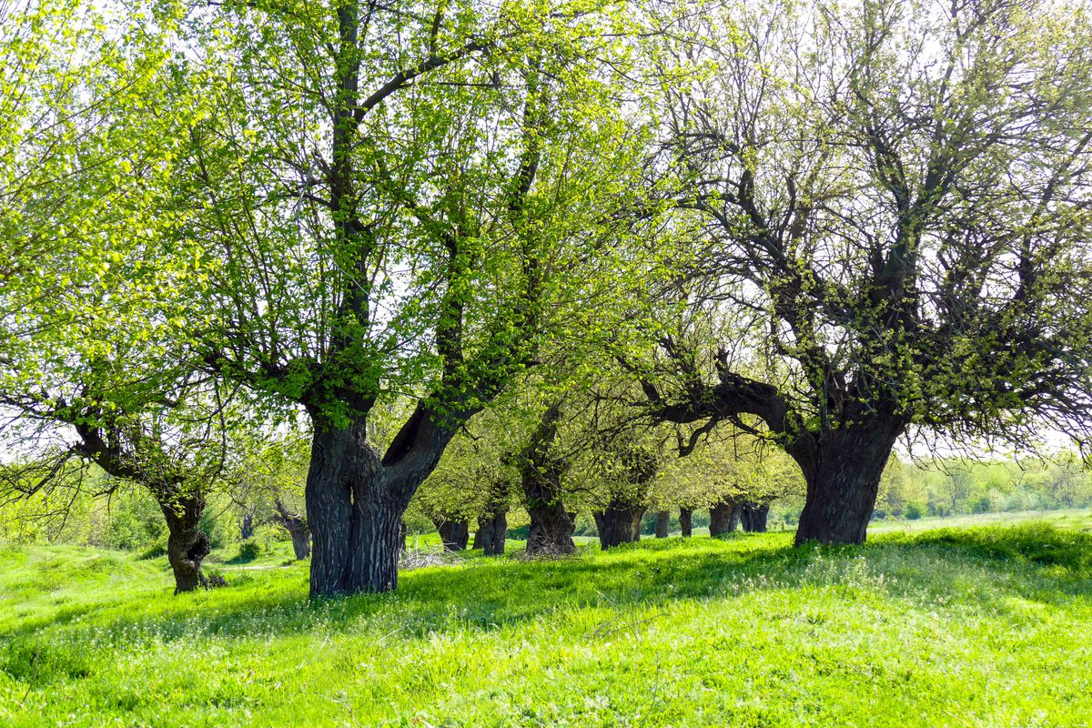 Everbearing Mulberry Trees