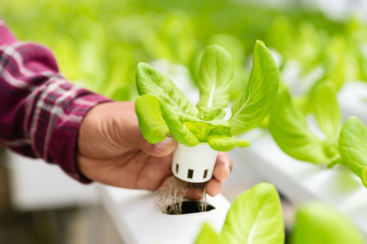 A small head of lettuce being shown in a hydroponic growing system.