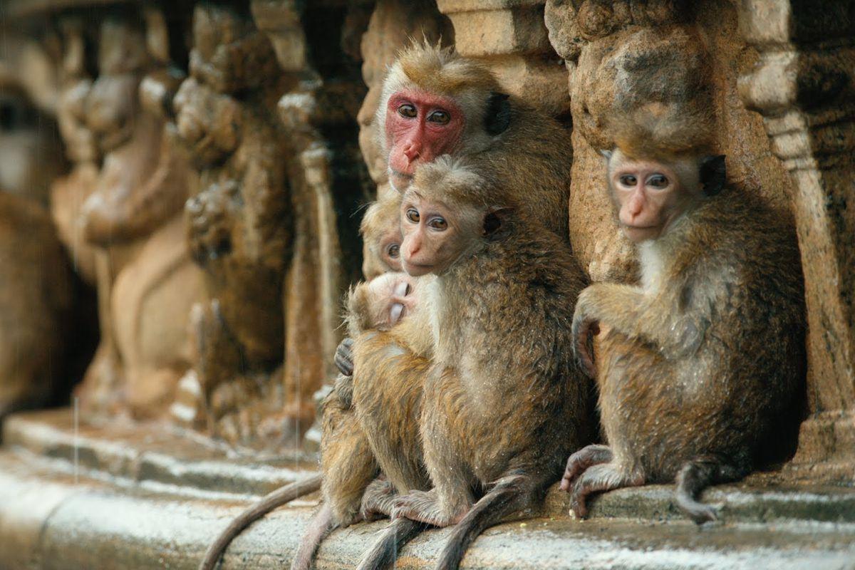 Presenting the monkey stars of Monkey Kingdom. Very photogenic.