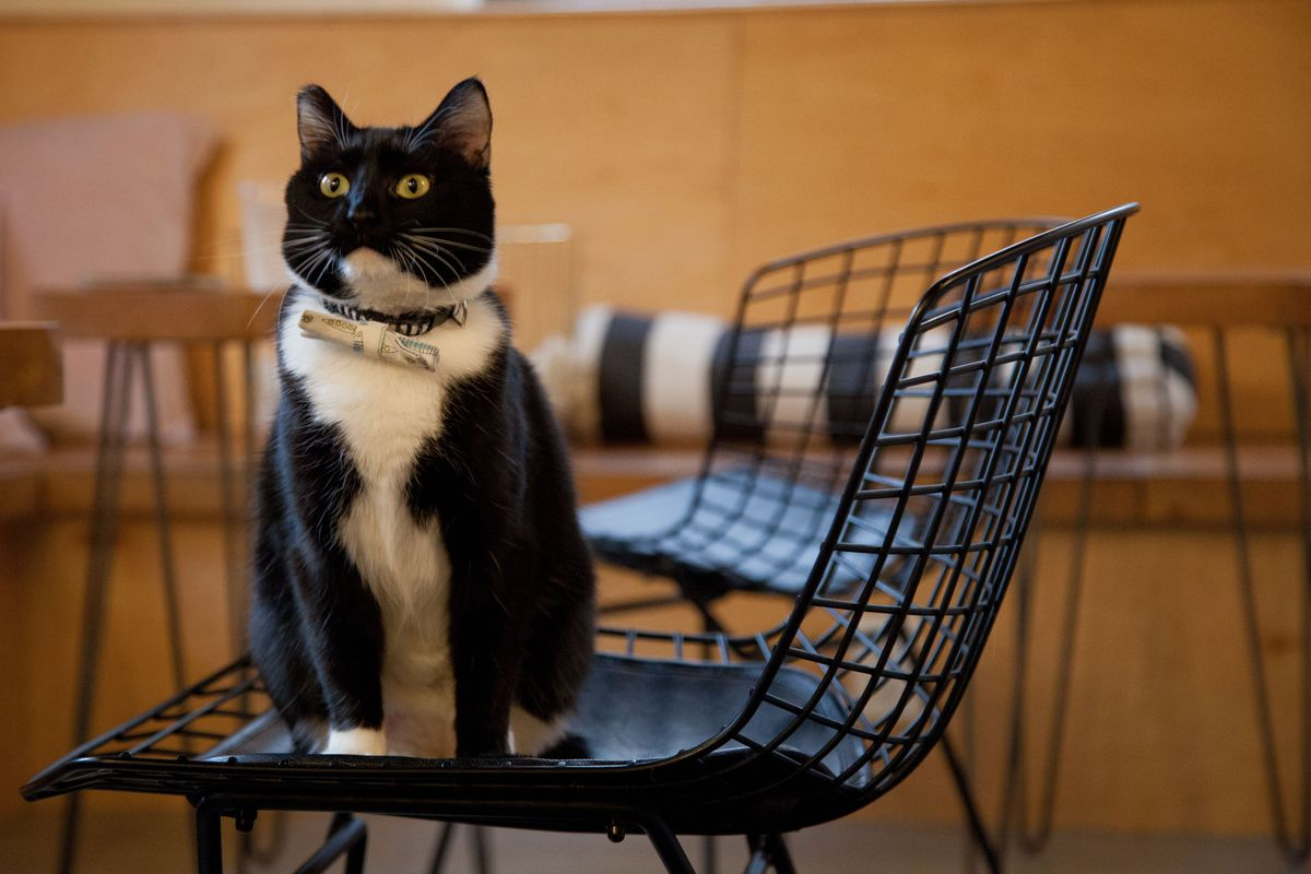 A black and white cat at Neko Cafe sits on a chair