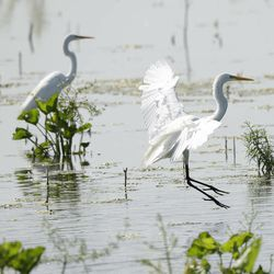 In this photo Wednesday, July 9, 2014, water birds make use of a made wetland project near Fairfield, Texas. As slow-moving, turbid water snakes through the man-made wetland, phosphorous and nitrates are slowly filtered out through shallow ponds full of lush vegetation and water birds until, a week later, the water runs clear as a creek  directly into a North Texas drinking supply.