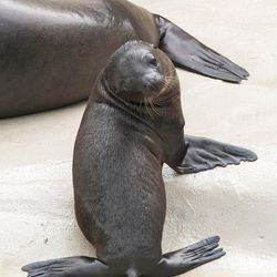 Sea lions are born weighing anywhere from 9 to 13 pounds, and keepers estimate that Charger has now doubled his birth weight and weighs about 40 pounds.