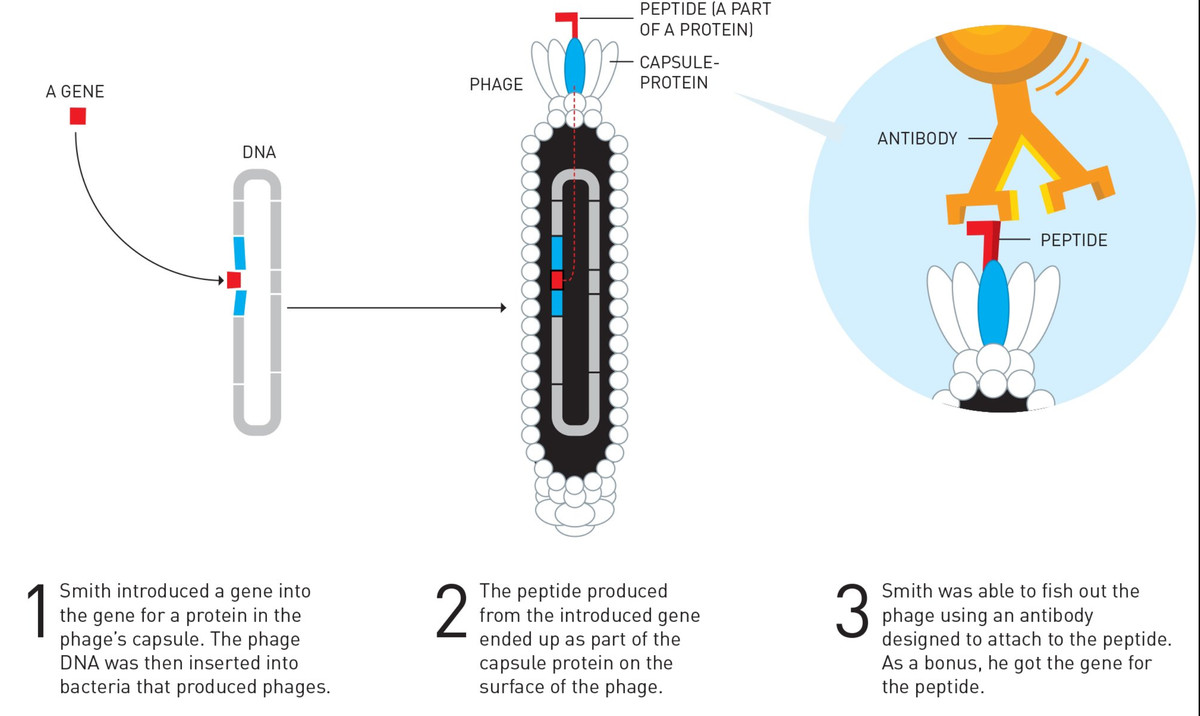 The phage display technique allowed scientists to quickly identify viruses that express a particular gene.