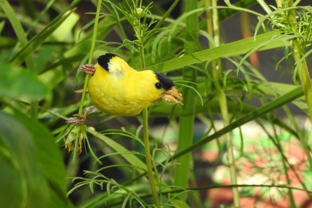 Goldfinches and eagles around Chicago, another Michigan mountain lion a Crazy Horse quote are among the notes…