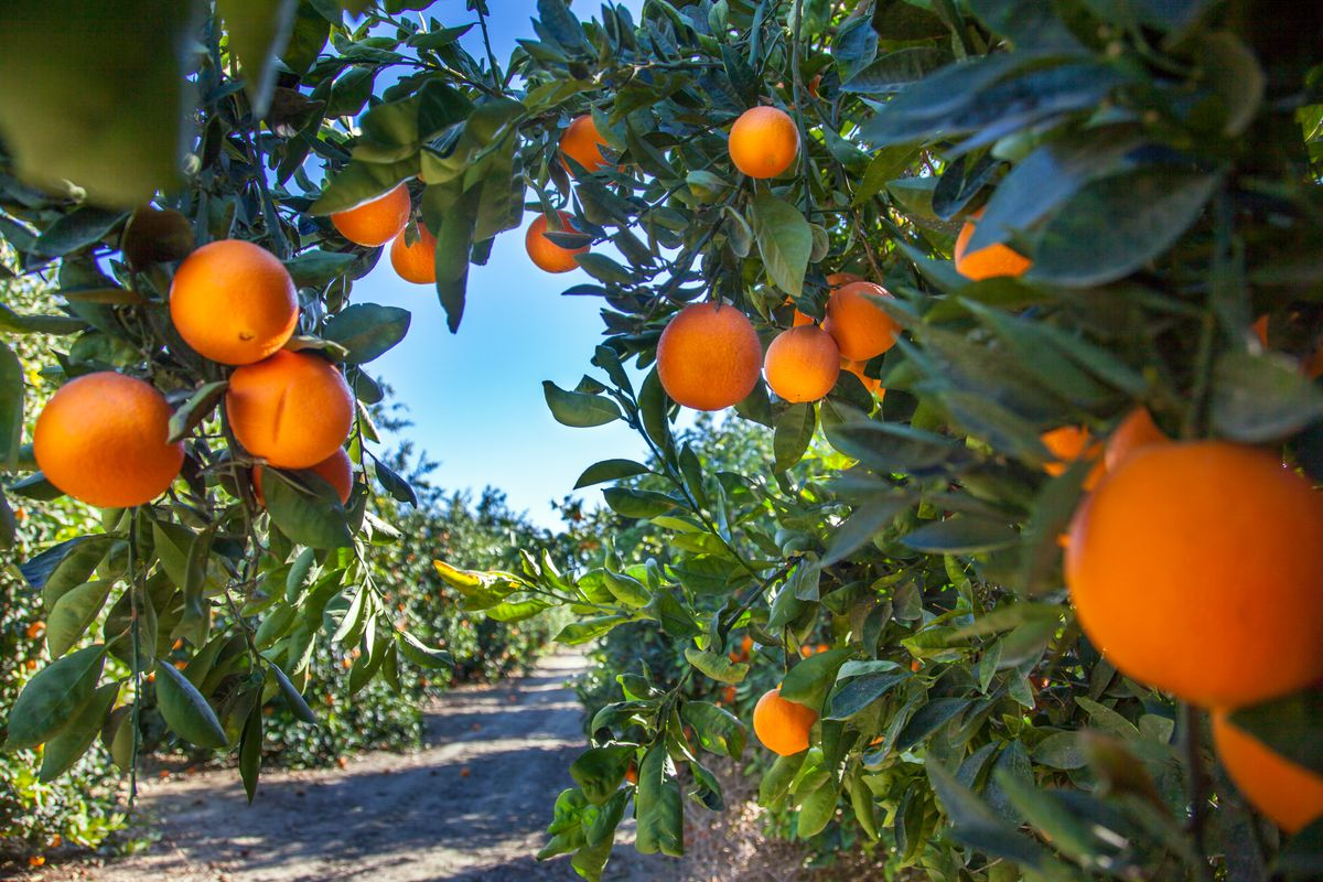 Oranges grow on trees neatly arranged into rows.
