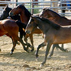 Horses run around their corral Friday at the Extreme Mustang Makeover Competition in Herriman. In the competition, 34 horse trainers from multiple states pick up a preselected wild horse to be trained over the course of the next 90 days.