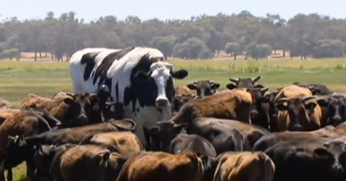 Knickers The Extremely Large Cow Isn T Actually A Cow The Verge